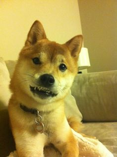 This Shiba who was trying to listen sincerely but instead looked like this. | The 42 Most Awkward Dogs Of 2014