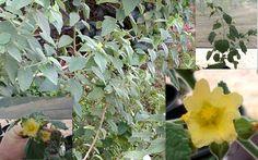 Bala Sida Cordifolia Flannel Country Mallow Seeds