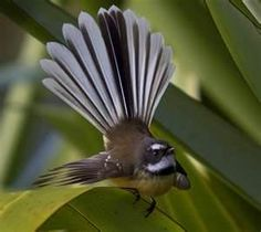 Fantail in New Zealand. These birds appear to be very tame and will come very close up, whether it is as you tend your garden or walk through the forest.