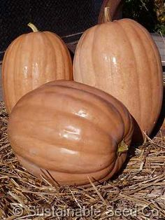 Organic Dickinson Pumpkin Seeds - Sustainable Seed Co.