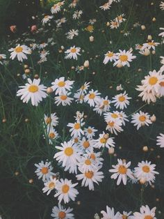Comfort Zone, Daisies, Pretty, Flowers, Plants, Pictures, Inspiration, Wall, Miniature Gardens