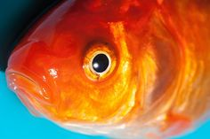 details van goudvissen - Αναζήτηση Google