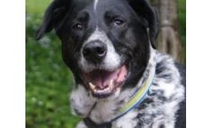 Adopt Brody from the Seattle Humane Society! He's a 7-year-old Pointer/Border Collie mix with a beautiful black and white coat. This friendly fellow loves to play, go on walks and run. He is very active, alert and curious. Click to learn more! But if his URL is expired - YAY - that means he's been adopted. Black And White Coat, Border Collie Mix, Lost Pets, 7 Year Olds, Losing A Pet, Humane Society, Walks, The Fosters, Seattle