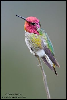 Anna's Hummingbird  ♥ ♥ www.paintingyouwithwords.com