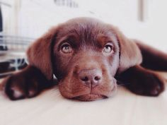 Meet my beautiful girl, Latte   #chocolatelab #cute #girl #chocolate #labrador