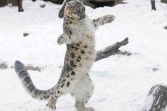 """Leopardo-das-neves parece dançar ao brincar em zoo nos EUA. Cena ocorreu no zoológico de Brookfield, em Illinois, filhote chamado """"Everest"""" tem seis meses de idade."""
