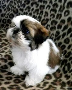 5 Ways to Tell Your Shih Tzu You Love Them in Their Own Language