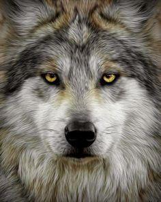 Mes créations pps et cartes virtuelles: Photos de loups