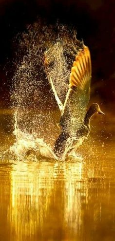 Duck #TMH