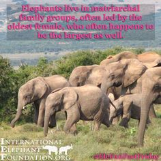 Happy #EleFunFactFriday! Elephants live in matriarchal family groups, often led by the oldest female...