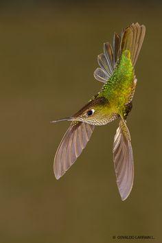 Green-backed Firecrown Hummingbird (Sephanoides sephaniodes) in Chile - 'Machito Rey' by Osvaldo Larrain L.