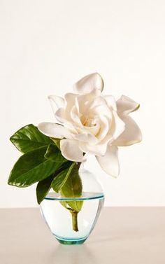 "Gardenia Perfume Recipe-Gardenia essence CAN be extracted via enfleurage,& also via alcohal extraction-but it is labor intensive(&the fragrance alters if flowers are not immediately removed in a short time-an apple-like scent occurs as flowers age).Alcohal extraction is simplest. Ab alcohal extract could be used as a base,&other essences used to create a ""Gardenia""-like supporting scent.Neroli,Tuberose,linden-all seem as if they might add ""Gardenia""notes if used-but gardenia has a powdery…"