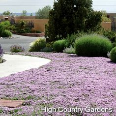 "1"" x 18"" wide (cutting propagated). A very low grower, excellent for planting between pavers and flagstone, 'Pink Chintz' continues to be a favorite with all who see it in bloom. With attractive evergreen foliage and profuse salmon-pink flowers beginning in early spring, this variety is typically one of the first thymes' to bloom. 'Pink Chintz' is one of the most tolerant of dry conditions, but grows vigorously with extra water. Trim off faded flowers to keep it looking neat. Early spring…"