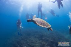 Several students dive with a green turtle before it soars to the surface for a breath :)