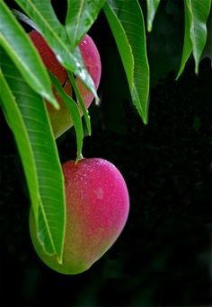 Mango - a favorite fruit prolific throughout Costa Rica