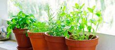 Comment faire pousser des herbes aromatiques ? — Serengo