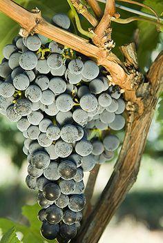 Okanagan Wine Grapes by JoshMcCulloch.com on Flickr.