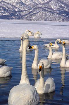 White Geese, Japão – Tókio – Nagano – Hokkaido – Kushiro