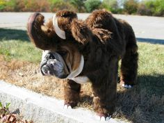 Until recently scientists thought the wooley mammoth was extinct.
