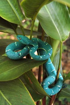 (Bothriechis lateralis) Side-striped palm pit viper [blue-phase] from: Cartago, Cartago Province Costa Rica Les Reptiles, Cute Reptiles, Reptiles And Amphibians, Pretty Snakes, Beautiful Snakes, Beautiful Creatures, Animals Beautiful, Colorful Snakes, Pit Viper