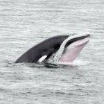 Excursion aux baleines d'une journée à partir de Montréal avec Croisières AML