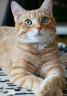 Cat Facts: Fun Tidbits About Tabby Cats - Animals Cute Cats And Kittens, I Love Cats, Crazy Cats, Cool Cats, Ragdoll Kittens, Funny Kittens, Adorable Kittens, Pretty Cats, Beautiful Cats