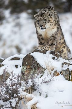 Snow leopard on the lookout (by Christophe JOBIC)