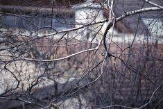 Great tit / Parus major / Széncinege Minolta Dynax 7  Kodak Portra 400NC expired in 2006 shot at 200 pushed one stop in development. greattit parusmajor széncinege bird tree film analog bokeh minolta dynax af