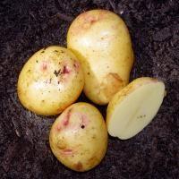Yukon Gem Seed Potato from Stark Bro's