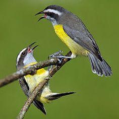 cambacica ou sebinho ou caga_coereba flaveola Brazilian Birds