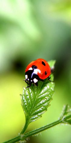 It always feels special when you see a Lady Bug! Beautiful Bugs, Animals Beautiful, Gorgeous Girl, Photo Coccinelle, Baby Animals, Cute Animals, Ladybug Art, Bugs And Insects, Tier Fotos