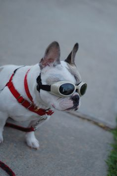 Frenchie with Doggles Norwich Terrier Puppy, Boston Terrier, Dog Helmet, Super Cute Dogs, French Bulldog Puppies, Helmets, Dog Stuff, Pets, Lady