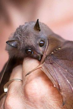 A tube-nosed bat