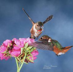 "28 Me gusta, 3 comentarios - Lisa Meyers Swanson (@thehummingbirdwhisperer) en Instagram: ""#hummingbird #hummingbirdsofinstagram #hummingbirds #birdsofinstagram #birds #birdsandblooms…"""