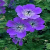 Geranium 'Rosanne'
