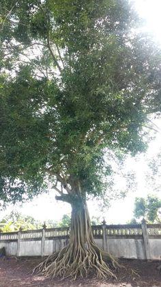 ต้นไม้แห่งธรรม ร่มเย็นเสมอ วัดดอยแม่ปั๋ง  เมืองป้าวซิตี้ trip 23-10-2013