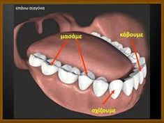 See our medically accurate models of human teeth and gums. Zygote models are professional quality, ready for use in medical illustration, animation, and VR. Human Teeth, Ap Studio Art, Medical Illustration, Human Anatomy, Zbrush, Face Art, Dentistry, Sculpting, Character Reference