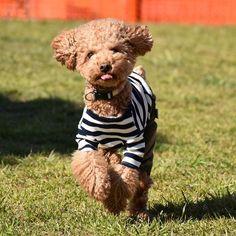 . . おはようございます☀ 毎日似たような写真ばかりですみません💦 ランランしてるハルが可愛くて💓(親バカ💦) . 仕事が忙しくて帰ってくるとヘロヘロだけど 週末の旅行のためにがんばります✊⭐⭐ . . . #わんこのいる暮らし #dogs_of_instagram #pet #わんこなしでは生きていけません #といぷーどる #petsagram #dogsofinstagram #instagramdogs #dogstagram #dogoftheday #lovedogs #lovepuppies #hound #adorable #doglover #instapuppy #instadog #犬 #いぬ #トイプードル #アプリコット #わんこ #愛犬 #トイプー #toypoodle #apricot #犬バカ部 #토이푸들 #いぬすたぐらむ #D7200