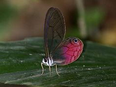 Delias aganippe) | Pink-tipped Satyr (Cithaerias pireta)