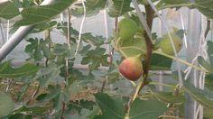 2013.11月のグリーンエコスター出庭農園のイチジク⑥