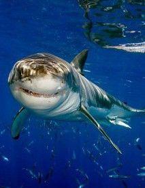 !!Smiling Shark!! Käfigtauchen mit weißen Haien?? Mit uns in Guadalupe hast du die ultimative Gelegenheit fantastische Bilder zu schießen und unglaublich tolle Erfahrungen zu sammeln #mexiko #smilingshark #faszinierend #lachen #leben #fröhlich #unglaublicheserlebnis #tauchsafari #wirodive #tauchen #schnorcheln #adrenalin #lebedeinleben