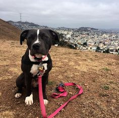 Can we play ball now? - Bernal Heights Park - San Francisco, CA - Angus Off-Leash