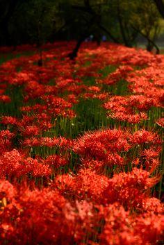 https://flic.kr/p/g6GGnr | cluster‐amaryllis_0065 | 曼珠沙華の里「巾着田」 (埼玉県日高市) Cluster amaryllis at Kincyakuda  Beautiful Red!  #beautiful #amaryllis #flowers