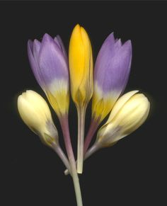 05132 Crocus 971 | by horticultural art