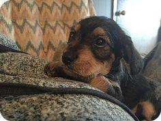 Trenton, NJ - Schnauzer (Miniature)/Beagle Mix. Meet Gibbs, a puppy for adoption. http://www.adoptapet.com/pet/12154976-trenton-new-jersey-schnauzer-miniature-mix
