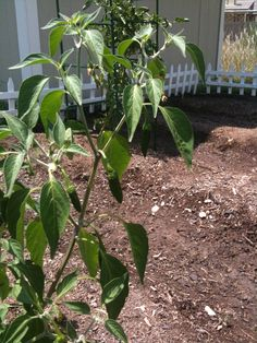 AUG 2012: The serrano peppers are doing great!
