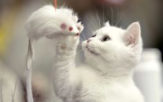 A British Shorthair kitten plays with a toy mouse during an international feline beauty competition in Bucharest, Romania.