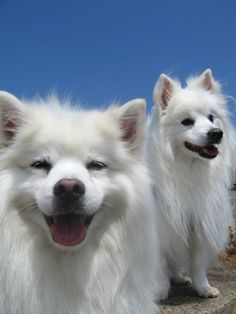 Whitney (left) and Shasta (right) - our two fabulous miniature American eskimo dogs. Miniature American Eskimo, American Eskimo Puppy, White Puppies, Dogs And Puppies, Doggies, Dog Shots, Japanese Spitz, Dog Best Friend, Dog List