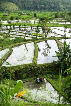 Rice fields as shown to us by Wayan. #ricefields #ricepaddy #bali #landscapephotography