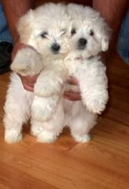 cutest little guys- need a maltipoo!!!